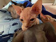 Sphynx Kitten kanadische Sphynx