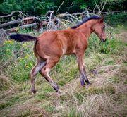 Paint Horse Fohlen Stute Absetzer
