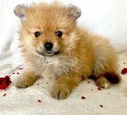 Pomeranian Zwergspitz Welpen mit Ahnentafel