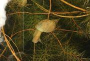 Spitzschlammschnecken Lymnaea stagnalis Yoda-schnecken abzugeben