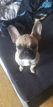 Wunderschöne Franz Bulldogge