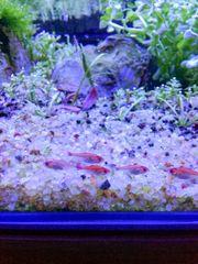 Pfeffersalmler für dein Aquarium