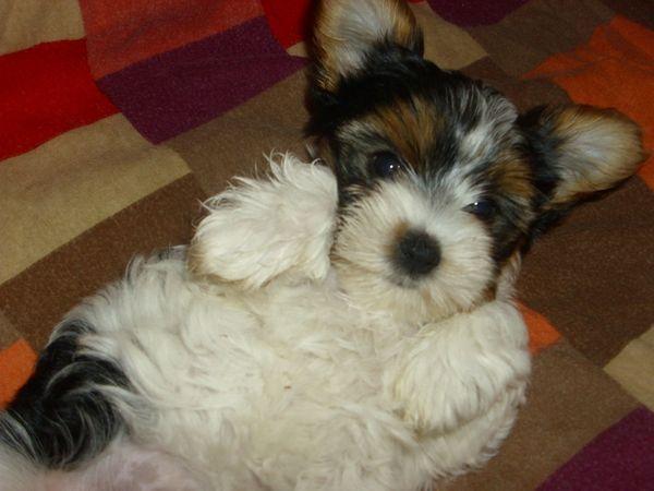Biewer Yorkshire Terrier Welpen Yorkshire