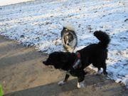 Hunde Gassigeher gesucht