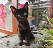 Bengal kitten in Melanistic