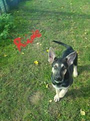 Osteuropäische Schäferhunde Welpen zu verkaufen