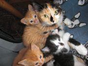 Nordische Waldkatze Katzenbabys Katzenkinder Mix