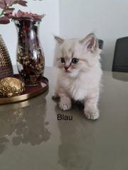 Wunderschöne Ragdoll Kitten zum verlieben