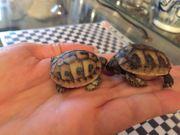 Babylandschildkröten zu verkaufen