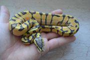 Königspython Python Regius 0 1