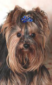 Kleiner Yorkshire Terrier Deckrüde 1500g