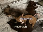 LH Chihuahua 1Rüde sucht noch