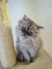 Perse kitten Medchen und Jungs