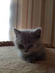 Süßes BKH Kitten - Mieze