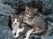 Grandiose Edelmix Kätzchen Norwegische Waldkatze