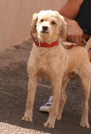 Rony - spanischer Wasserhund - Rüde aus
