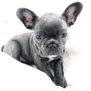 Kleine Französische Bulldoggen Welpen bxjksdh