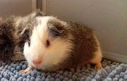 Baby Glatthaar Meerschweinchen männl