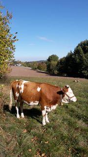 Hinterwälder Kuh