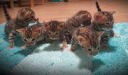Bengal Kitten mit XXL-Rosetten zu