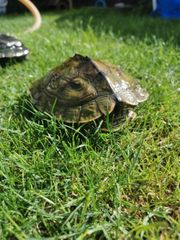 Wasserschildkröte mit Aquarium
