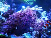Gorgonie Meerwasser Muttertier Mega 40cm