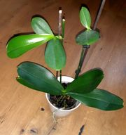 Orchidee mit 2 Kindel Ableger