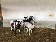 Ziegen zu verkaufen