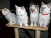 Wunderschöne reinrassige Ragdoll Kitten