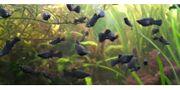 Fische fürs Aquarium Black Mollys