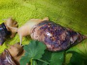 Achatschnecken Achatina Reticulata