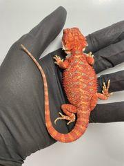 Bartagamen Männchen rot orange glowing