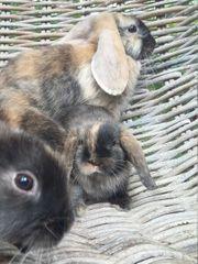 Reinrassige zutrauliche Kaninchen Babys abgabebereit