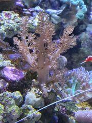 Keniabaum Koralle Meerwasser