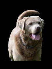 Wir erwarten einen Wurf Labradore