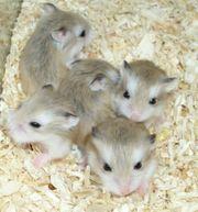 Junge Zwerghamster süße kleine Hamster
