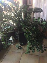 Schöne Zamioculcas Pflanze