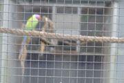 Jungen Pflaumenkopfsittich Hahn abzugeben