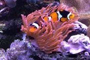 Meerwasser Entacmaea Kupferanemone selten