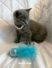 Bkh Schottish Fold Kitten