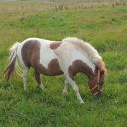 Ponys suchen Pflegebeteiligungen
