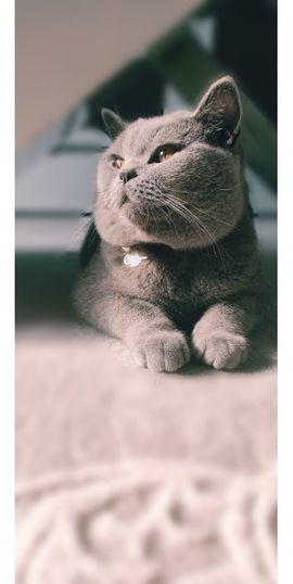 Katzen - BKH Deckkater BKH