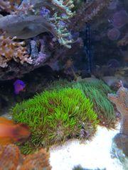 Affenhaar Korallen