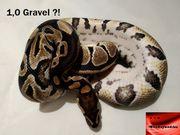 Königspython Gravel Männchen