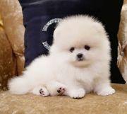 Mini Pomeranian Boo und Teddy