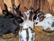 Kaninchen Hasen weiblich und männlich