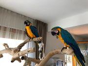 Brutpaar Blau- und Goldaras
