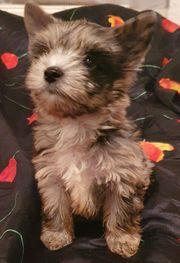 Mini Merle Yorkshire Terrier Weibchen