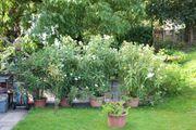 Oleanderbüsche