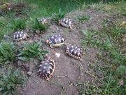 Landschildkröten Breitrandschildkröten